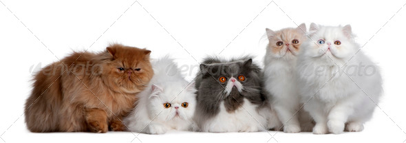 Group of Persian - Stock Photo - Images