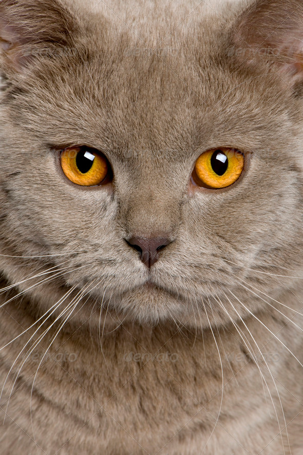 close up of a british shorthair (10 months old) - Stock Photo - Images