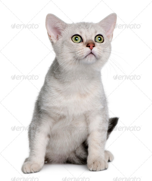 Asian kitten (4 months old) - Stock Photo - Images