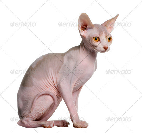 Sphynx kitten (5 months old) - Stock Photo - Images