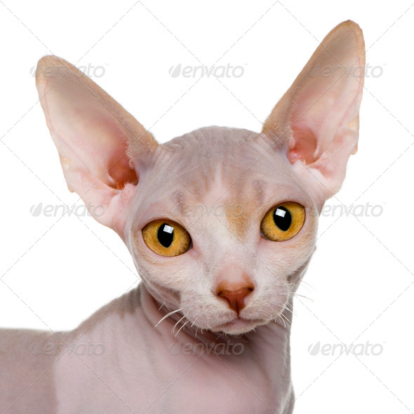close up of a Sphynx kitten (5 months old) - Stock Photo - Images