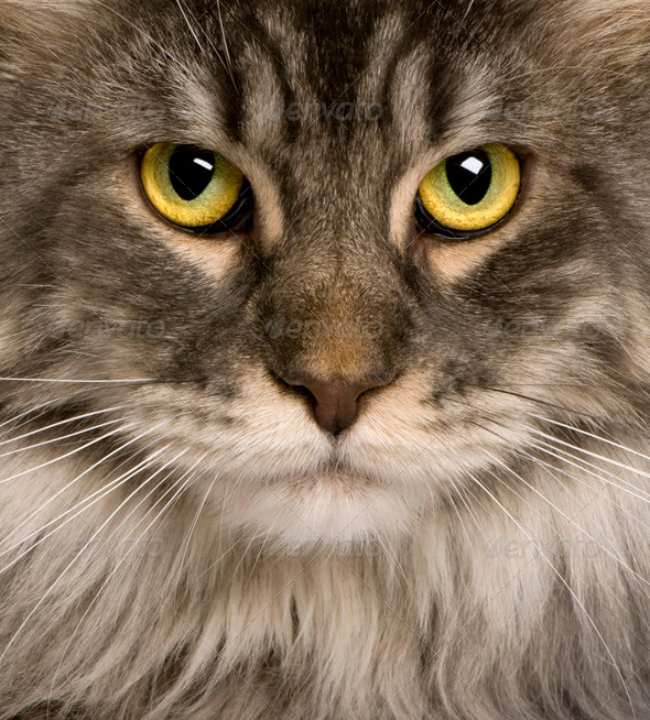 close up of a Maine Coon (2 years old) - Stock Photo - Images