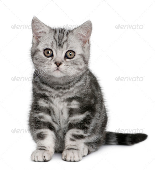 British Shorthair kitten (10 months old) - Stock Photo - Images