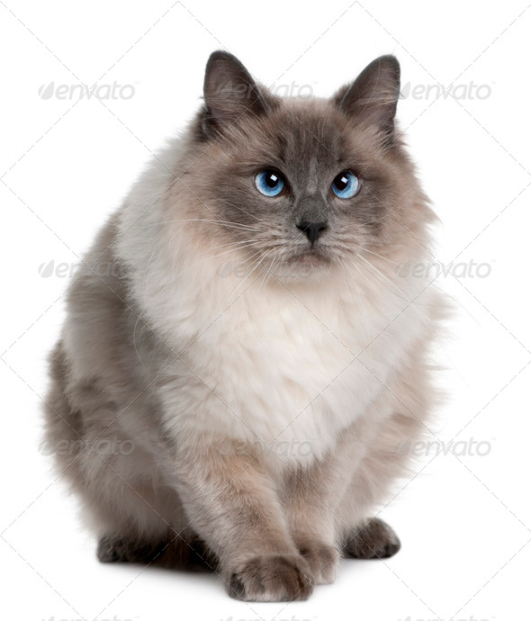 Ragdoll (1 year old) - Stock Photo - Images