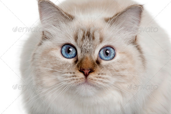 close up of a Ragdoll (10 months old) - Stock Photo - Images