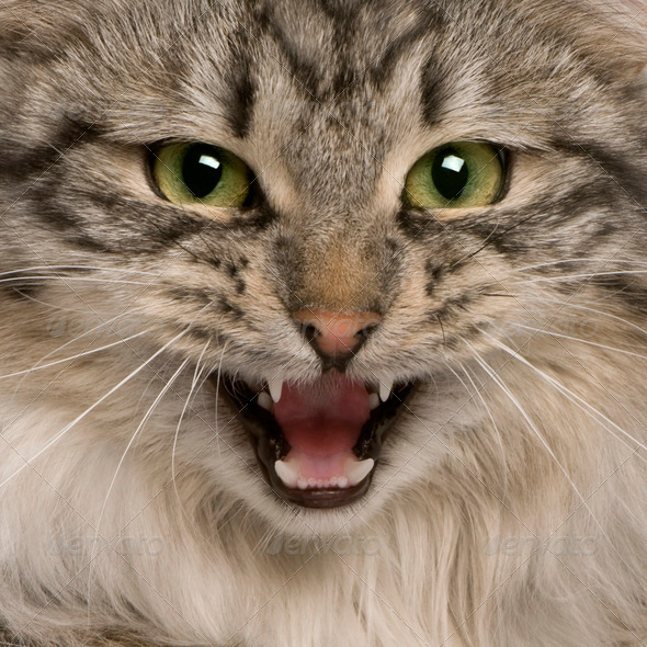 close up of a Siberian (9 months old) - Stock Photo - Images