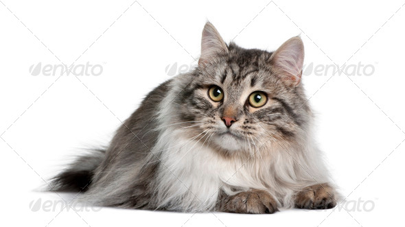 Siberian (9 months old) - Stock Photo - Images