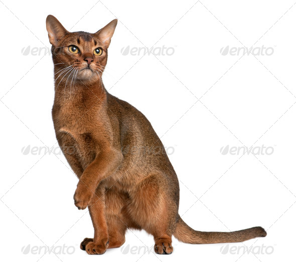 Abyssinian (9 months old) - Stock Photo - Images
