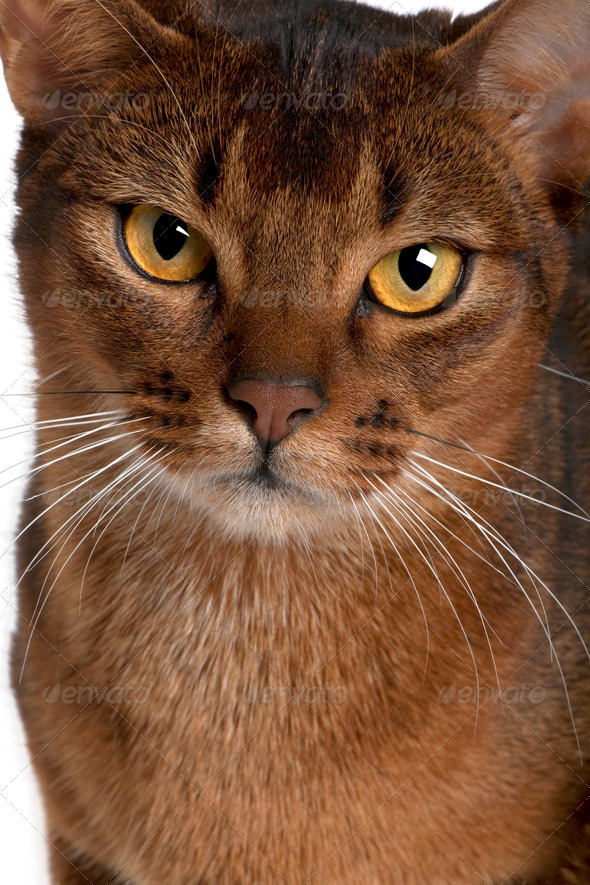 close up of a Abyssinian (9 months old) - Stock Photo - Images