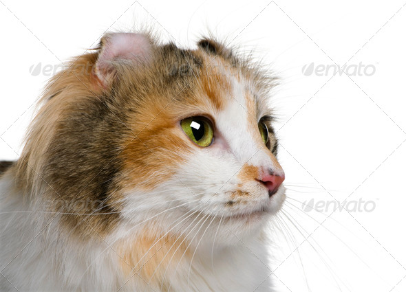 American Curl (2 years old) - Stock Photo - Images