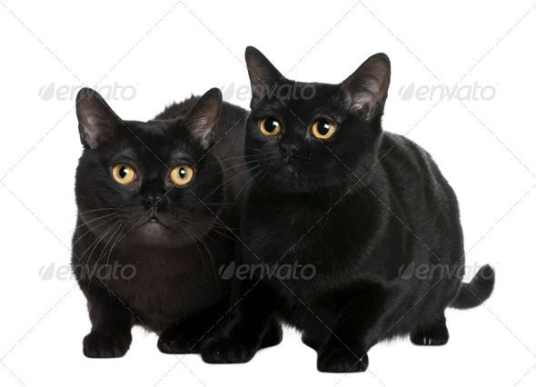 Bombay cat (10 months old) - Stock Photo - Images