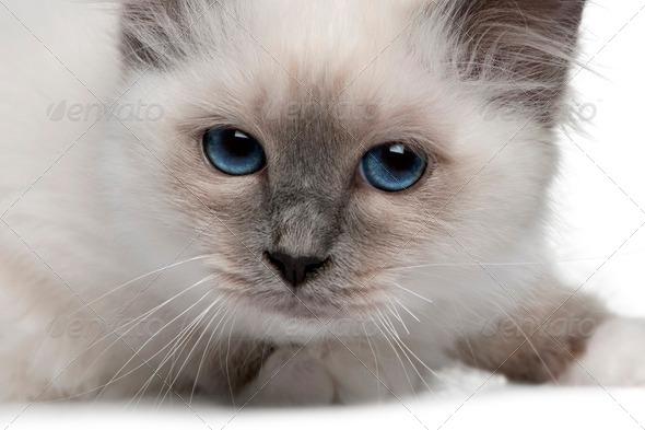 close up of a Birman kitten - Stock Photo - Images