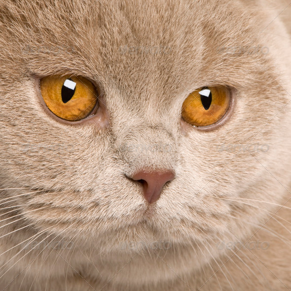 british shorthair (9 months old) - Stock Photo - Images