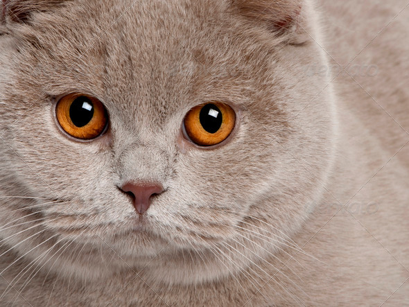 close up of a british shorthair (9 months old) - Stock Photo - Images