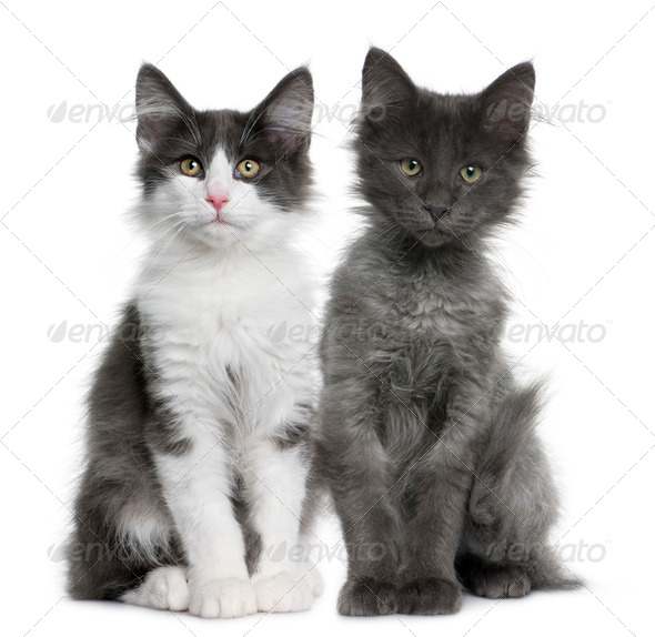 two Norwegian Forest Cat kitten (4 months old) - Stock Photo - Images