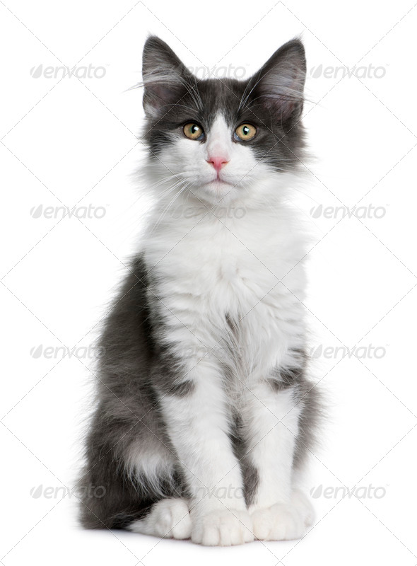 Norwegian Forest Cat kitten (4 months old) - Stock Photo - Images