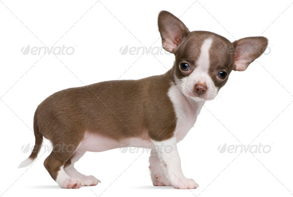 Chocolate and white Chihuahua puppy, 8 weeks old, standing in front of white background - Stock Photo - Images