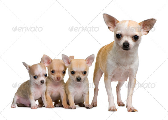 Chihuahua mother and her 3 puppies, 8 weeks old, in front of white background - Stock Photo - Images