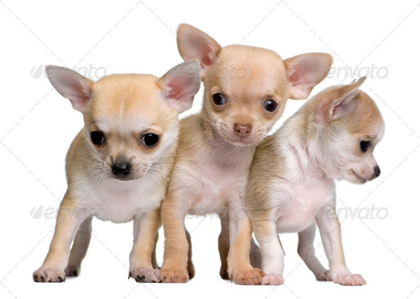 Chihuahua puppies, 8 weeks old, standing in front of white background - Stock Photo - Images