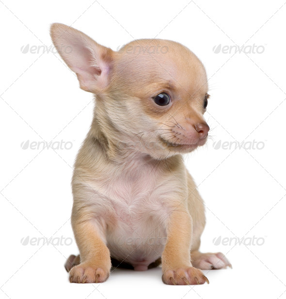 Chihuahua puppy, 8 weeks old, sitting in front of white background - Stock Photo - Images
