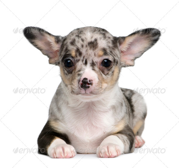 Blue merle Chihuahua Puppy, 8 weeks old, sitting in front of white background - Stock Photo - Images