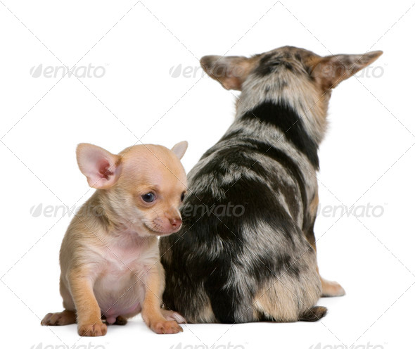 Chihuahua mother and her puppy, 8 weeks old, in front of white background - Stock Photo - Images