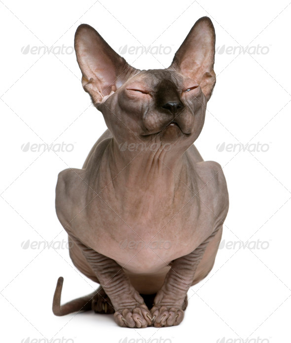 Sphynx cat with eyes closed, 1 year old, sitting in front of white background - Stock Photo - Images