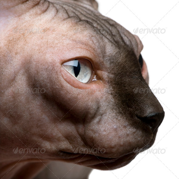 Close-up of Sphynx cat, 1 year old, in front of white background - Stock Photo - Images