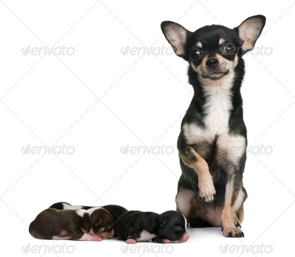 Mother Chihuahua  and her puppies, 4 days old, in front of white background - Stock Photo - Images