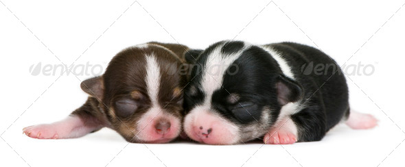 Mother Chihuahua and her puppy, 4 days old, resting in front of white background - Stock Photo - Images