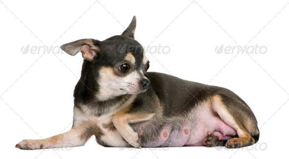 Female Chihuahua sitting in front of white background - Stock Photo - Images