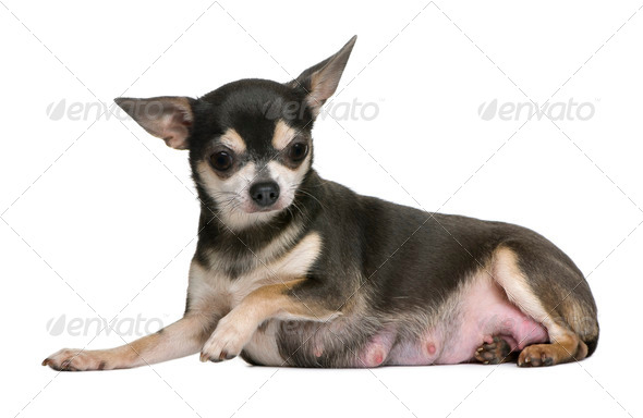 Mother Chihuahua sitting in front of white background - Stock Photo - Images