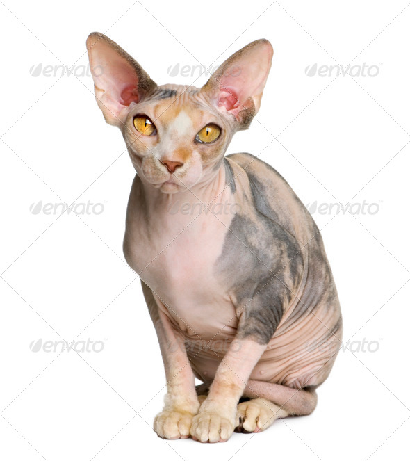 Sphynx cat, 1 year old, sitting in front of white background - Stock Photo - Images