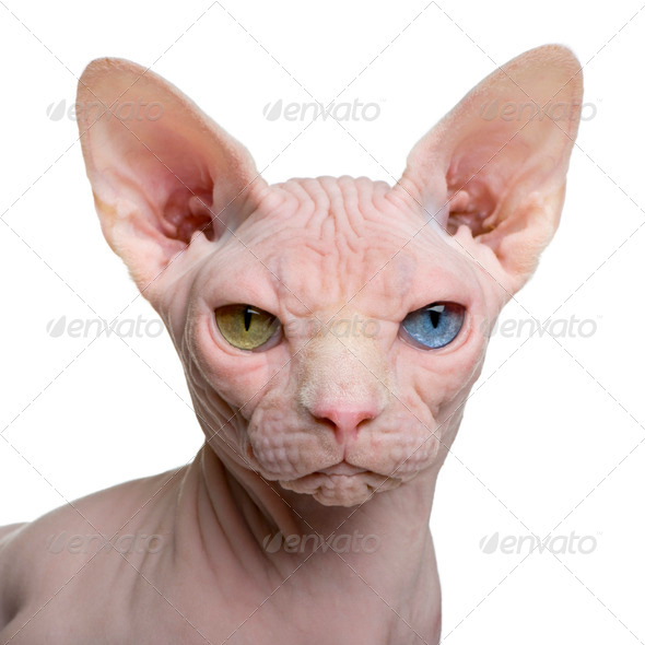 Sphynx cat, 1 year old, in front of white background - Stock Photo - Images
