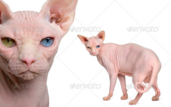 Portrait of Sphynx, 1 year old, in front of white background - Stock Photo - Images