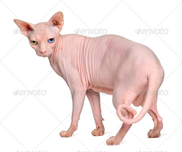 Sphynx cat, 1 year old, standing in front of white background - Stock Photo - Images