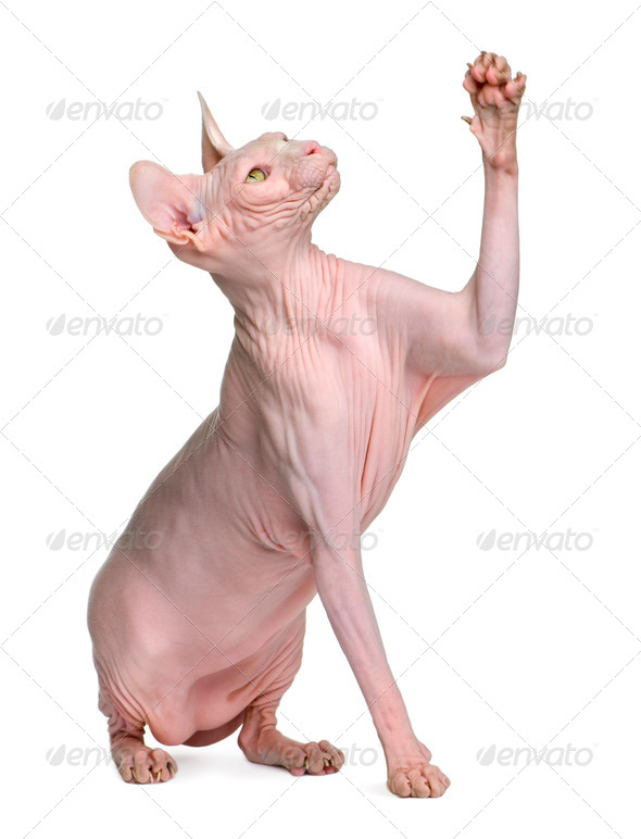 Sphynx cat, 1 year old, sitting in front of white background with paw up - Stock Photo - Images