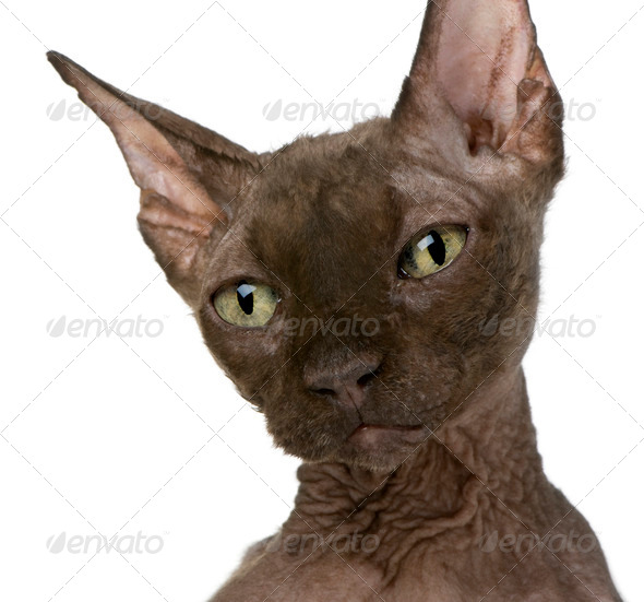Old Sphynx cat, 12 years old, in front of white background - Stock Photo - Images