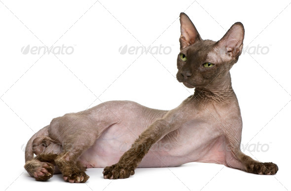 Old Sphynx cat, 12 years old, lying in front of white background - Stock Photo - Images
