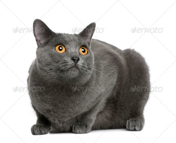 Chartreux cat, 20 months old, sitting in front of white background - Stock Photo - Images