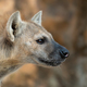 spotted hyena or laughing hyena head close up - PhotoDune Item for Sale