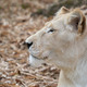 female african lion relax and lay down on the ground - PhotoDune Item for Sale
