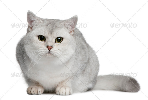 British shorthair cat, 9 months old, sitting in front of white background - Stock Photo - Images