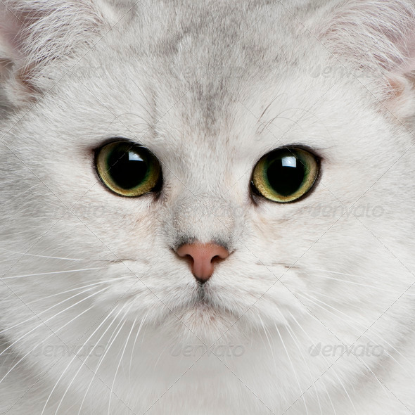 Close-up of British shorthair cat, 9 months old - Stock Photo - Images