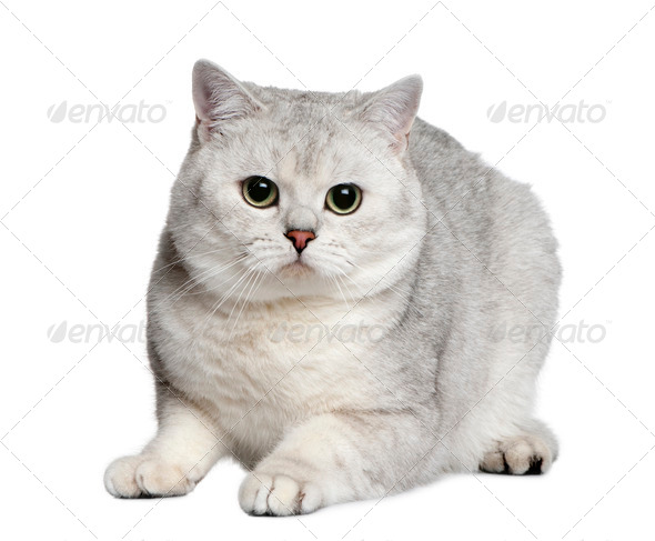 British shorthair cat, 15 months old, sitting in front of white background - Stock Photo - Images