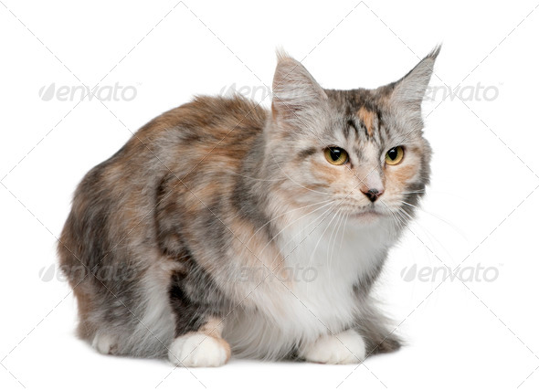 Maine coon, 4 years old, sitting in front of white background - Stock Photo - Images