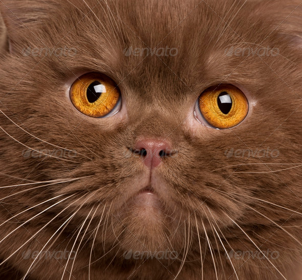 Close-up of British shorthair cat, 2 years old - Stock Photo - Images