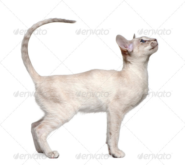Siamese kitten, 5 months old, standing in front of white background - Stock Photo - Images