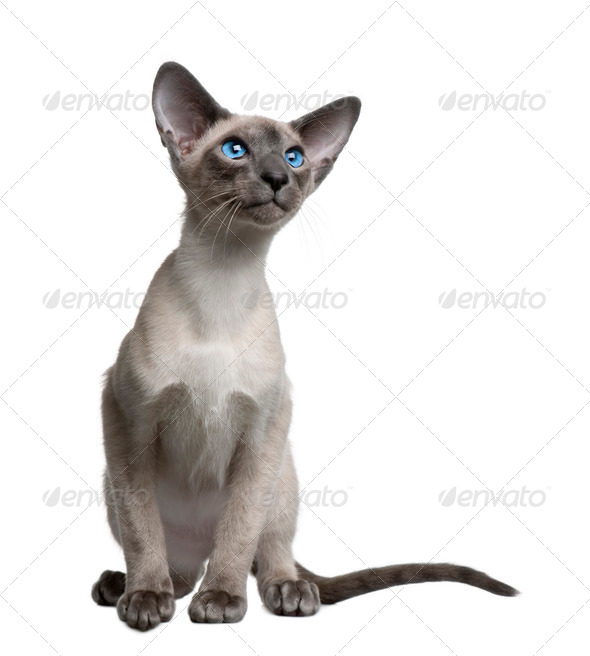 Siamese kitten, 4 months old, sitting in front of white background - Stock Photo - Images