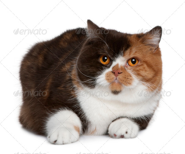 British shorthair cat, 1 year old, in front of white background - Stock Photo - Images